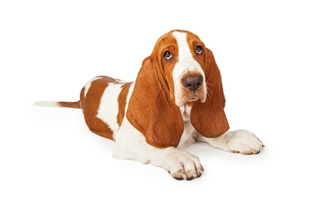 Tired looking Basset Hound puppy laying at an angle with eyes looking up