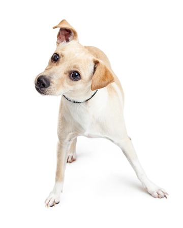 tilting: Cute little Chihuahua crossbreed dog standing on a white background and tilting his head Stock Photo