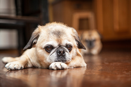 int: Cute little Pug and Pekingese dog laying down on a wood floor int he kitchen of a home with another dog blurred in the background