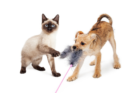 puppy and kitten: Cute little Siamese kitten and terrier puppy playing together with a feather cat toy