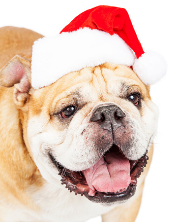 dog christmas: Close-up photo of a cute bulldog breed dog wearing a red Christmas santa hat