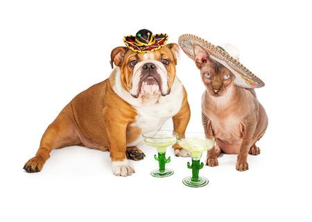 一只美国斗牛犬品种狗的滑稽的照片和戴透明的无毛的猫用玛格丽塔酒庆祝cinco de mayo