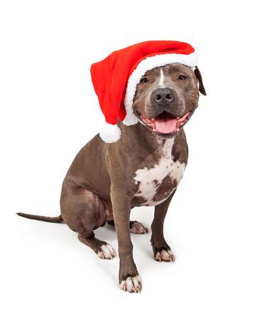 빨간 크리스마스 산타 클로스 모자를 쓰고 행복하고 웃는 회색 핏불 개 스톡 콘텐츠