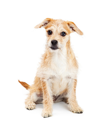 four month: A cute four month old terrier crossbreed puppy sitting and looking forward at the camera. Isolated on a white background. Stock Photo