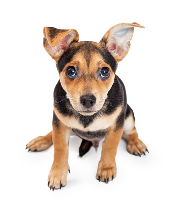leaning forward: Curious Chihuahua Mixed Breed Three Month Old Puppy sitting while leaning forward towards the lens of the camera. Stock Photo