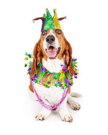 Funny photo of a happy and smiling Basset Hound dog wearing a jester hat, neck garland and bead necklace
