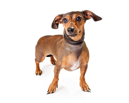 doxie: An alert looking Dachshund Mixed Breed Dog standing at an angle. Dog is looking off to the side. Stock Photo