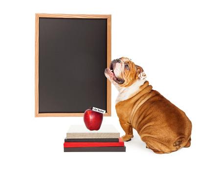 Bulldog perro de raza mirando una pizarra en blanco al lado de una pila de libros y una manzana para el profesor. Escriba su propio texto.
