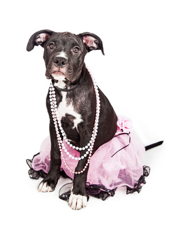 six month old: A cute six month old female mixed large breed puppy dog sitting while wearing a pretty pink tutu and pearl necklaces