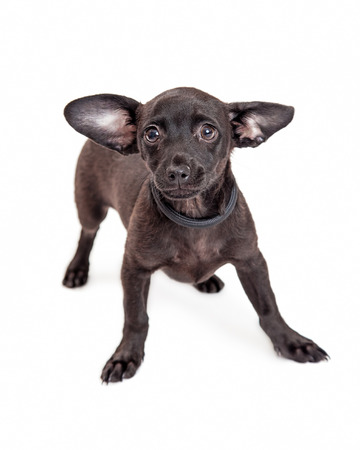 timid: A shy and timid little Chihuahua crossbreed dog with big ears and a black coat Stock Photo
