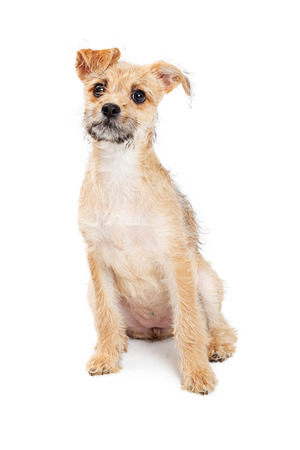 scruffy: Cute little scruffy mixed breed terrier puppy sitting on a white background with a curious expression Stock Photo