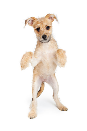 Adorable little scruffy terrier puppy standing up on hind legs and dancing