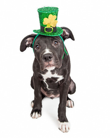 six month old: A cute six month old mixed large breed puppy dog wearing a St. Patricks Day green hat with a clover Stock Photo