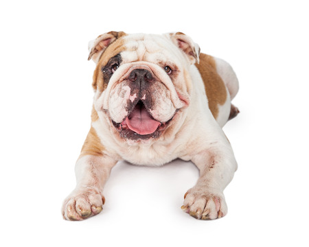 medium body: A closeup of a very happy Bulldog laying with outstretched paws.
