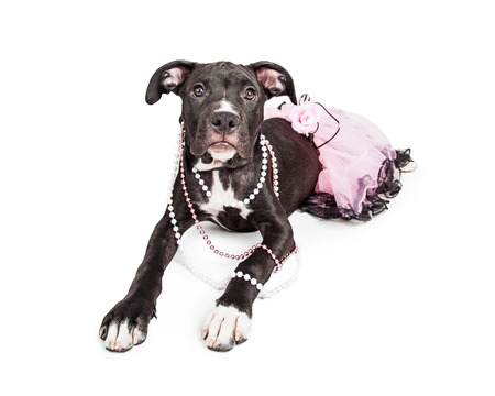 costume jewelry: A cute six month old mixed large breed puppy dog laying down wearing a pink tutu and pearl necklaces Stock Photo