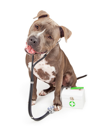 A beautiful adult Pit Bull breed dog dressed as a veterinary doctor wearing a stethoscope with a medical kit Imagens