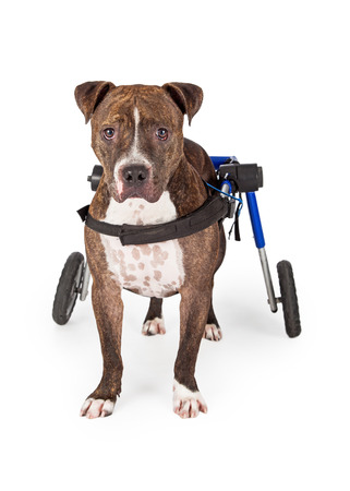 dog wheelchair: A handicapped Staffordshire Bull Terrier Dog standing in a wheelchair while looking directly into the camera.