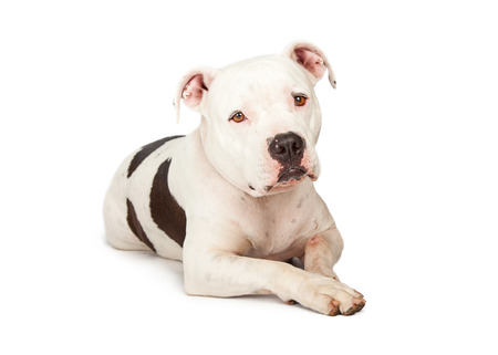 pit bull: A cute adult Pit Bull breed dog laying down and looking forward into the camera with a sad expression Stock Photo