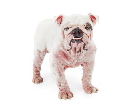 A white Bulldog with late stage demodectic mange, hair loss and red irritated skin Reklamní fotografie - 43620968