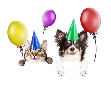 humour: Happy and smiling tabby cat and Chihuahua crossbreed dog with paws over a blank sign wearing birthday party hats Stock Photo