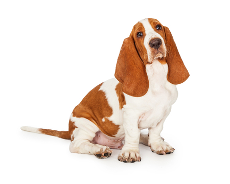 looking directly at camera: An attentive Basset Hound Puppy Dog sitting while looking directly into the camera.