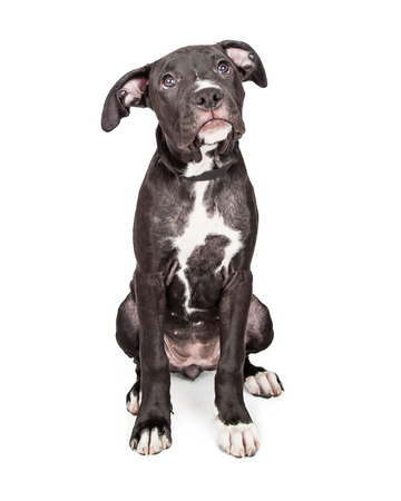 six month old: A cute six month old mixed large breed puppy with a black coat dog sitting and looking up