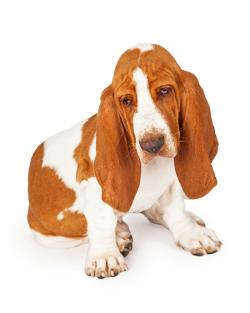 breed: Curioius Basset Hound puppy sitting while looking down towards the floor
