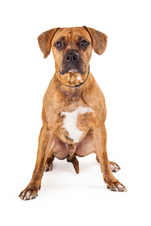 looking directly at camera: An attentive large Mixed Breed Dog sitting while looking directly into the camera.