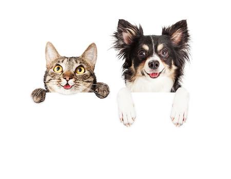 perros graciosos: Feliz y sonriente gato atigrado y Chihuahua perro del híbrido con las patas sobre una muestra en blanco