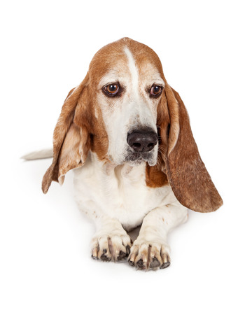 A sad looking Basset Hound breed dog laying down and looking to the side Stock Photo
