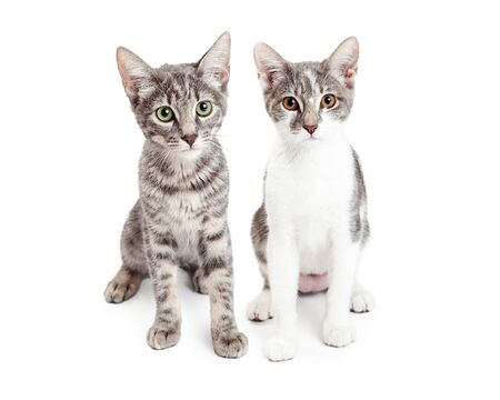 shorthair: Two adorable little grey color domestic shorthair kittens sitting together on a white studio background