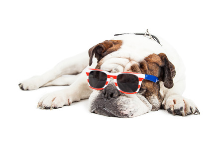 patriotic: Tired old Bulldog breed dog laying down while wearing red, white and blue American themed sunglasses