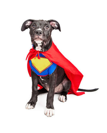 onto: A cute six month old mixed large breed puppy dog wearing a red cape and a vest with room to add your own text onto. Stock Photo