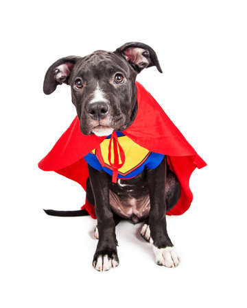 funny costume: A cute six month old mixed large breed puppy dog dressed as a superhero with cape and vest Stock Photo