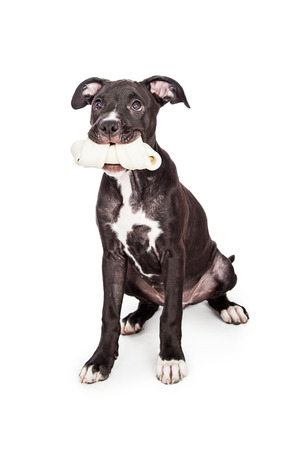 rawhide: A cute six month old mixed large breed puppy dog sitting down while holding a big rawhide bone in her mouth Stock Photo