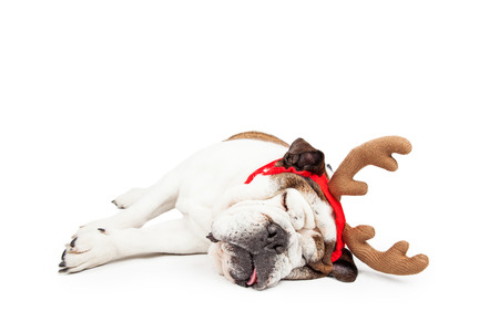 tired: Funny photo of a tired Bulldog laying on her side sleeping while wearing Christmas reindeer antlers Stock Photo