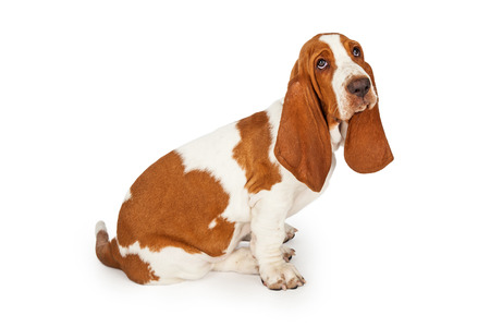 breed: Sad looking young Basset Hound Dog sitting at an angle