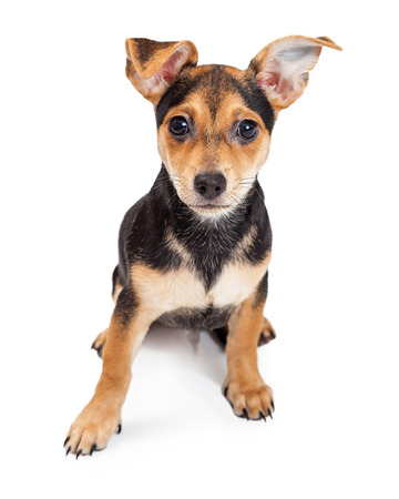 looking directly at camera: A very cute Chihuahua Mixed Breed Three Month Old Puppy sitting with ears cocked, while looking directly into the camera.