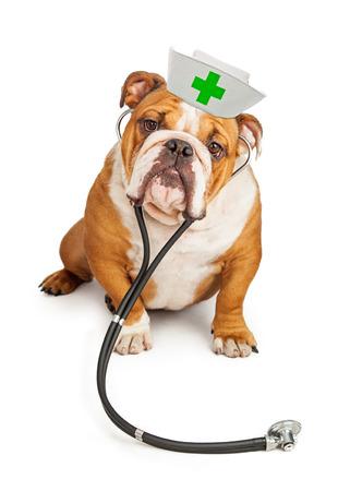 enfermeras: gran perro de raza dogo que lleva un sombrero de enfermera y un estetoscopio mirando a la cámara