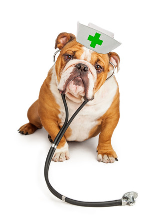 large Bulldog breed dog wearing a nurse hat and a stethoscope looking into the camera Stockfoto