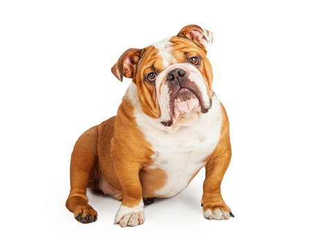 medium shot: An adorable English Bulldog sitting while looking into the camera.