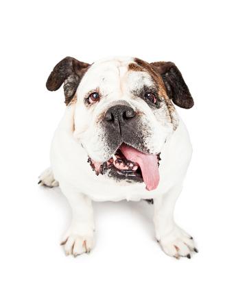 bulldog: Un perro de raza Bulldog linda mirando hacia arriba con una larga lengua fuera de la boca