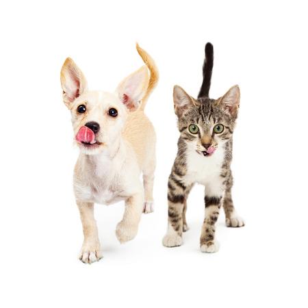 かわいい小さな小型犬子犬と子猫が自分の唇をなめるように突き出して、舌で前に歩いて行きます。彼らの前にあなたの御馳走または食品の製品を