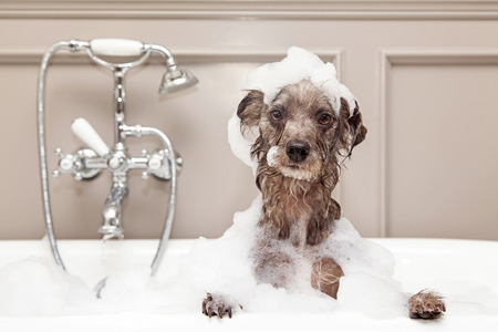 groomer: A cute little terrier breed dog taking a bubble bath with his paws up on the rim of the tub Stock Photo