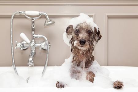 chien: Un petit chien de race terrier mignon de prendre un bain à bulles avec ses pattes sur le rebord de la baignoire
