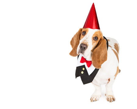 pet new years new year pup: Basset Hound breed dog wearing a red party hat and formal tuxedo vest