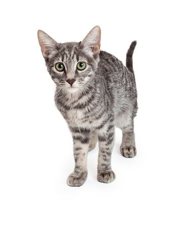 An adorable Domestic Shorthair Four Month Old Kitten standing while looking into the camera with stunning green eyes Banco de Imagens