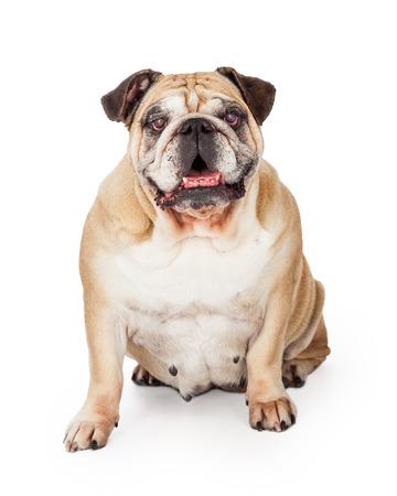 medium body: A happy Bulldog sitting facing the camera and looking into the camera.