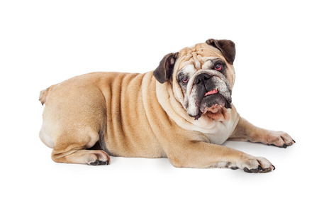 medium body: An attentive Bulldog laying sideways while looking directly into the camera