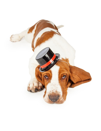 pet new years new year pup: A cute and adorable Basset Hound puppy wearing a black top hat trimmed in red.  Dog is laying facing the camera. Stock Photo